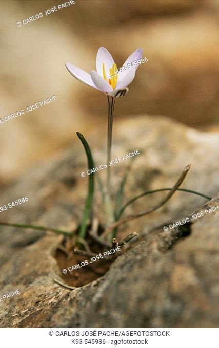 Saffron from Mallorca