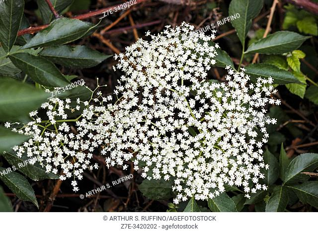 Telephoto of Queen Anne's lace (Daucus carota). Italy, Europe