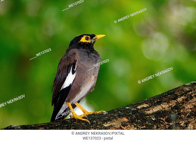 Indian Myna or common myna (Acridotheres tristis) is sitting on a branch, Denis island, Seychelles