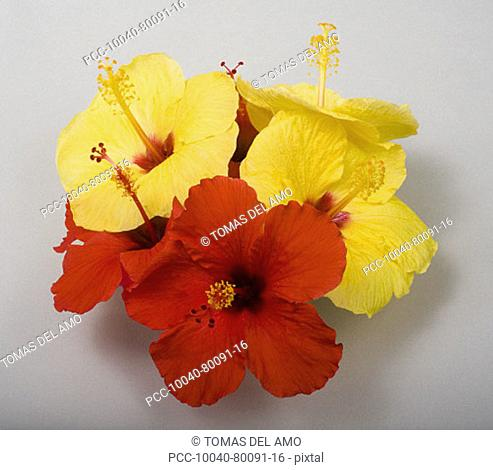 Studio shot of a bouquet of red and yellow of hibiscus on white background