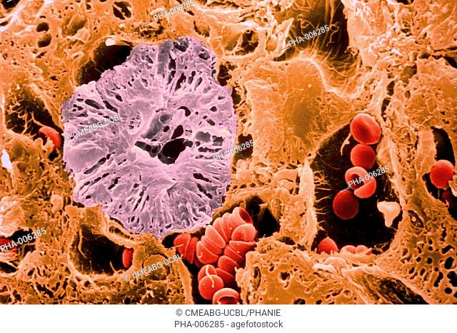 Kidney transversal section Blood capillaries with red blood cells red and distal tube purple SEM Scanning Electron Microscope