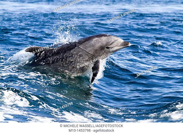Off-shore bottlenose leaping out of the water