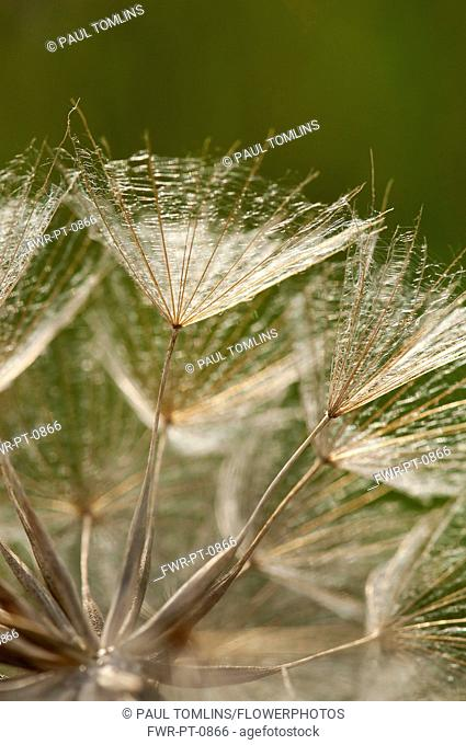 Goat's beard, Tragopogon pratensis, close up showing the delicate pattern