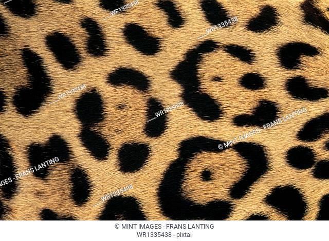 Jaguar skin pattern, Panthera onca, Belize