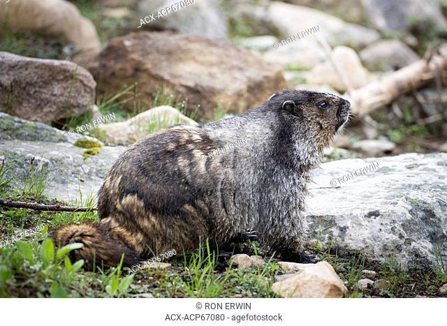 Hoary Marmot (Marmota caligata) on the Cavell Meadow trail on Mount Edith Cavell in Jasper National Park, Alberta, Canada