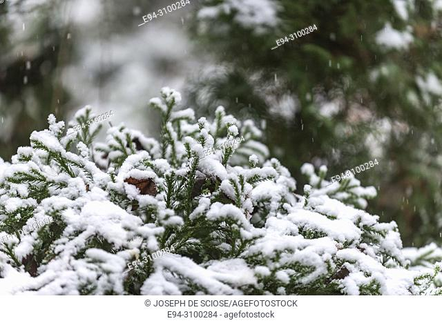 A dusting of snow on the branches of s small chryptomeria shrub in a garden during a snow storm.Birmingham, Alabama, USA