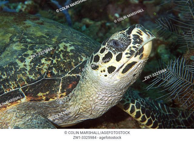Hawksbill Turtle (Eretmochelys imbricata, Cheloniidae family), Jemeluk dive site, Amed, Bali, Indonesia