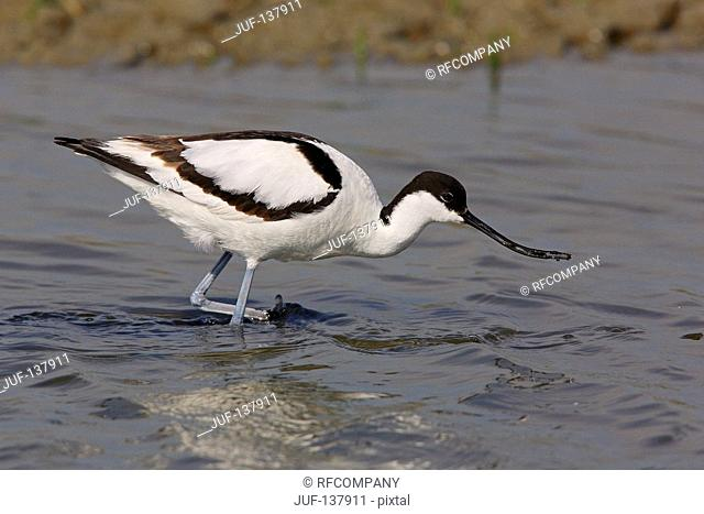 Pied avocet - walking in water / Recurvirostra avosetta