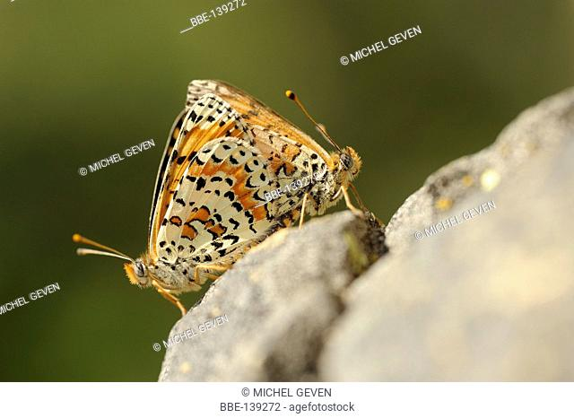Mating Spotted Fritillary on rock