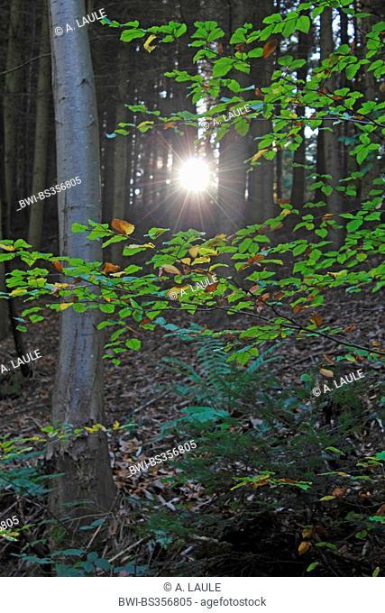 common beech (Fagus sylvatica), sunbeam cutting through the forest, Germany, Baden-Wuerttemberg, Black Forest