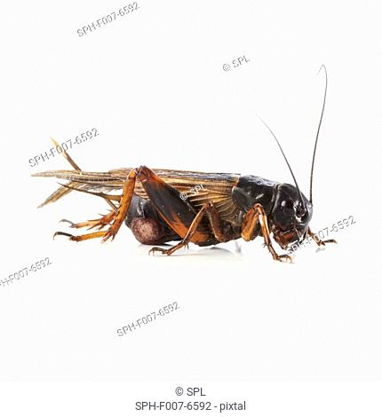 Black field cricket (family Gryllida)