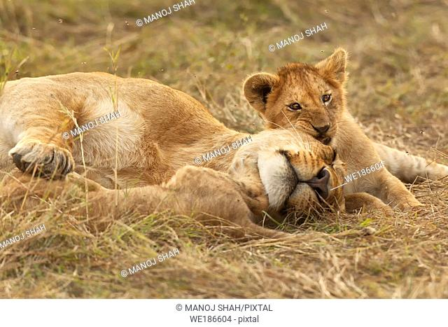 Lion cub resting with sleeping mother