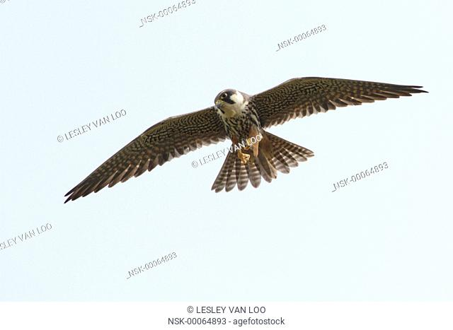 Eurasian Hobby (Falco subbuteo) flying with dragonfly in its claws, The Netherlands, Utrecht