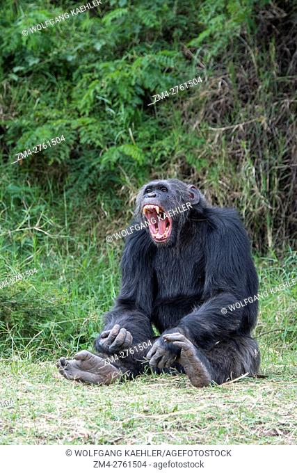 A Chimpanzee is yawning at the Sweetwaters Chimpanzee Sanctuary at Ol Pejeta Conservancy in Kenya