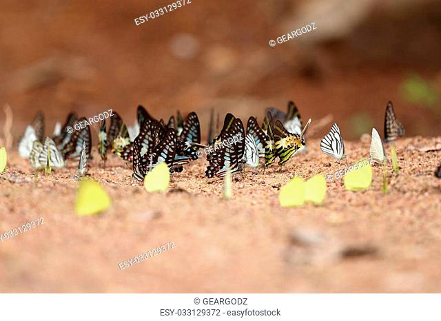 Group of butterfly on the ground (Common Jay, Graphium antiphates itamputi (Butler), Small Grass Yellow, Striped Albatross)