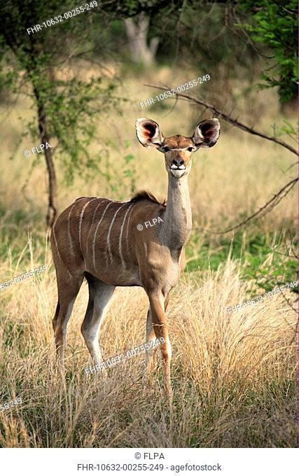 Greater Kudu Tragelaphus strepsiceros adult female, alert, standing in grass, Kruger N P , South Africa