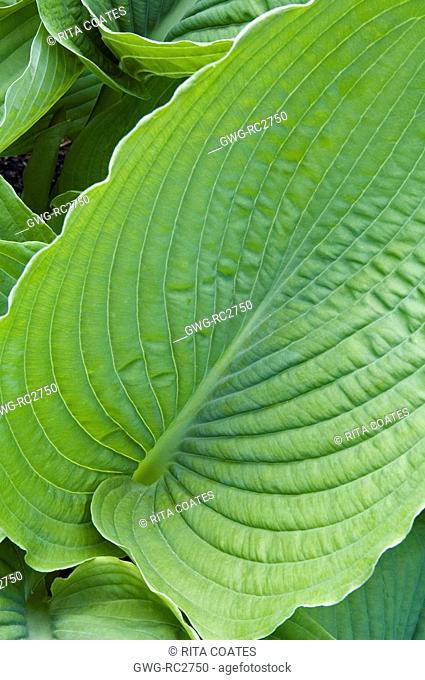 Hosta Honeybells Stock Photos And Images Age Fotostock
