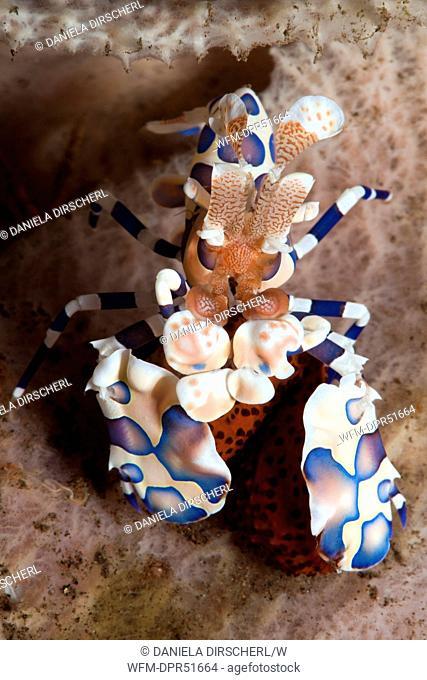 Harlekin Shrimp, Hymenoceras elegans, Seraya, Bali, Indonesia