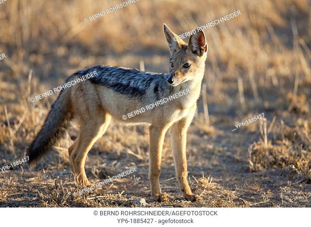 Black-backed Jackal Canis mesomelas standing in savannah, Serengeti National Park, Tanzania