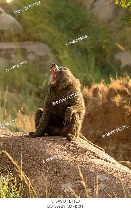 Baboon (Papio cynocephalus ursinus) on rock, Serengeti National Park, Robanda, Tanzania, Africa