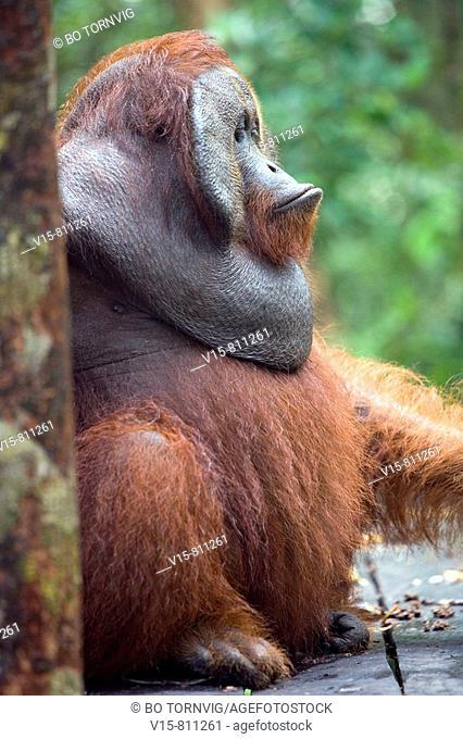 Alfa Male Orangutan in Borneo