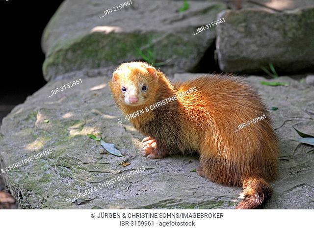Ferret (Mustela putorius furo), adult, captive, Germany