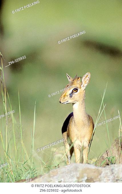 Dik-dik (Rhynchotragus kirki). Masai Mara wildlife reservation, Kenya