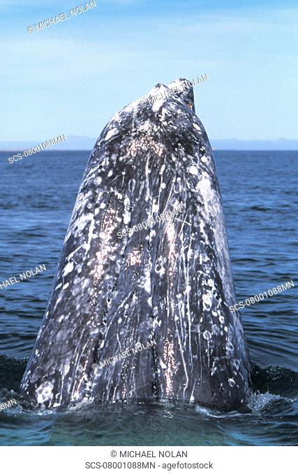 Adult California Gray Whale Eschrichtius robustus spy-hopping in the calm waters of San Ignacio Lagoon, Baja, Mexico