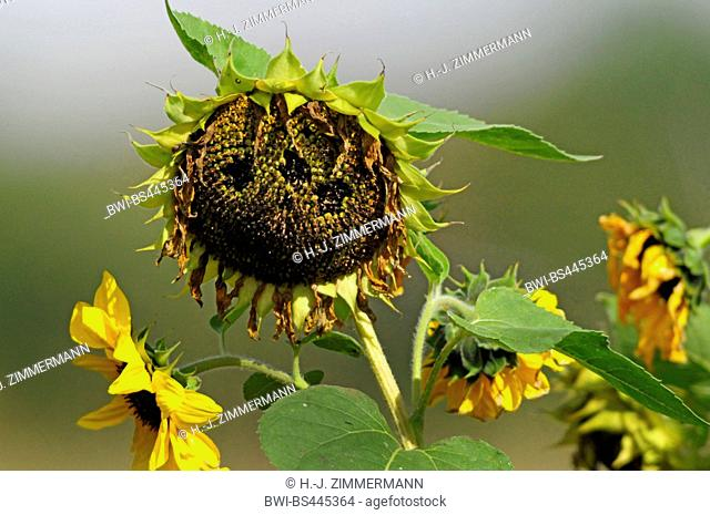 common sunflower (Helianthus annuus), withered sunflower, Germany