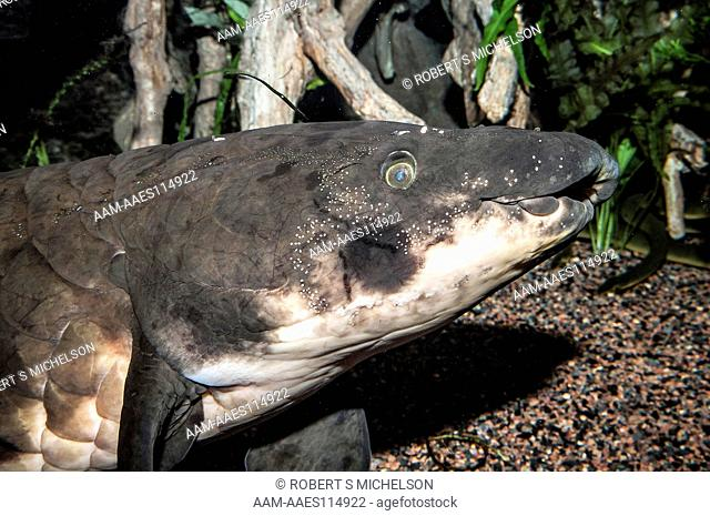 African Lungfish facing right, close-up, Protopterus annectens, Africa