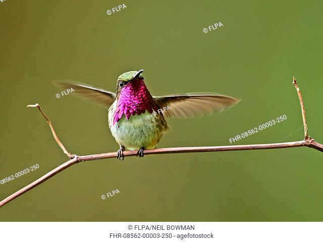 Wine-throated Hummingbird (Atthis ellioti selasphoroides) adult male, displaying, perched on twig, La Tigra N.P., Honduras, February