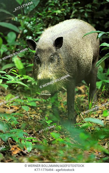Bearded Pig Sus barbatus, Tanjung Puting National Park, Province Kalimantan, Borneo, Indonesia