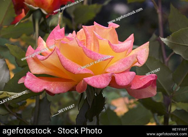 Hybrid rose flower (Rosa)