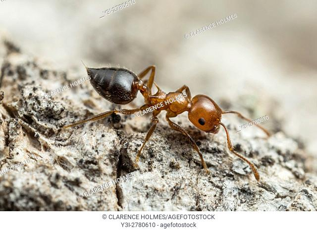 An Acrobat Ant (Crematogaster laeviuscula) forages for food