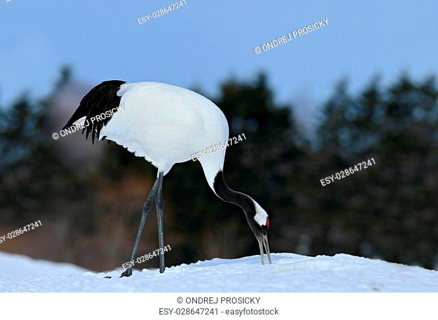 Red-crowned crane, Grus japonensis, with snow, Hokkaido, Japan