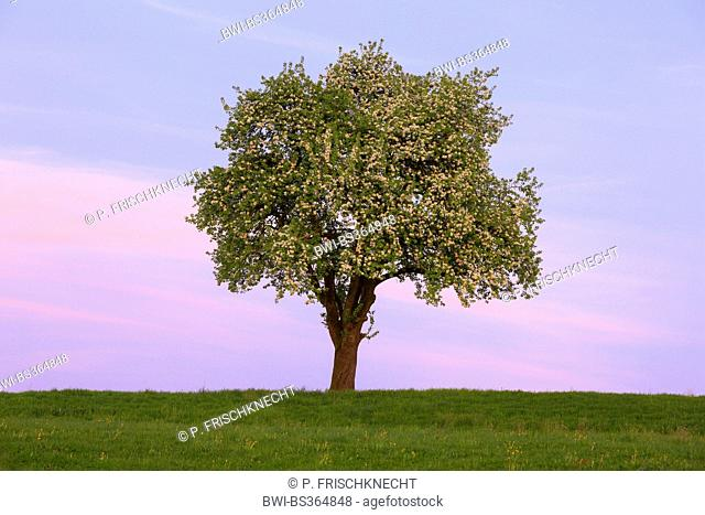 common pear (Pyrus communis), flowering pear tree in spring, Switzerland, Zuercher Oberland