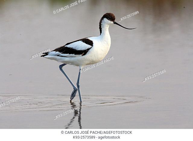 Pied avocet (Recurvirostra avosetta). Mallorca, Balearic Islands, Spain