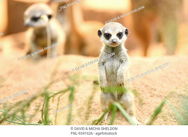 Two meerkat youngsters