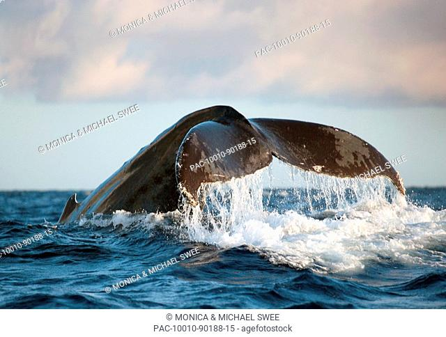 Hawaii, Maui, Humpback whale fluking its tail