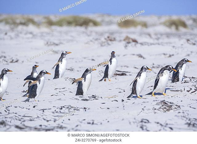 Gentoo Penguins (Pygocelis papua papua) walking, Sea Lion Island, Falkland Islands,