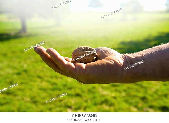 Close up of man's hands holding harvesting walnut
