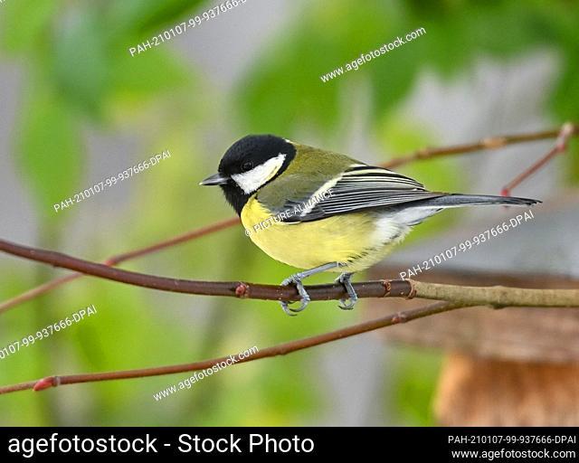 07 January 2021, Brandenburg, Batzlow: A great tit (Parus major) is seen on a branch in a garden. Photo: Patrick Pleul/dpa-Zentralbild/ZB