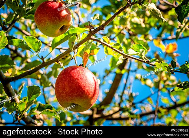 Red apples growing in autumn on a branch with green leaves. Apple court concept