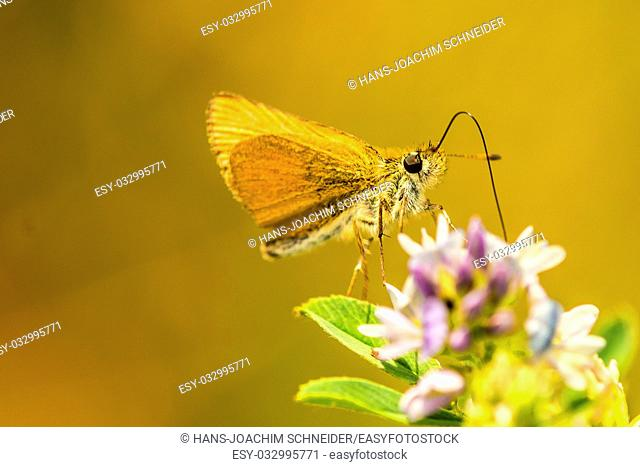 small skipper on yellow flower in Germany