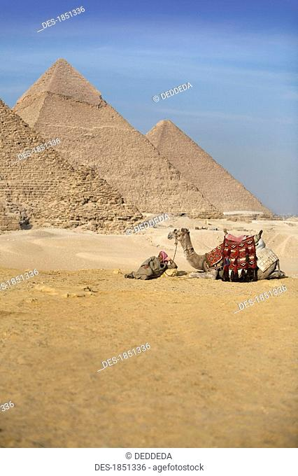 A man and camel with the Pyramids in the background
