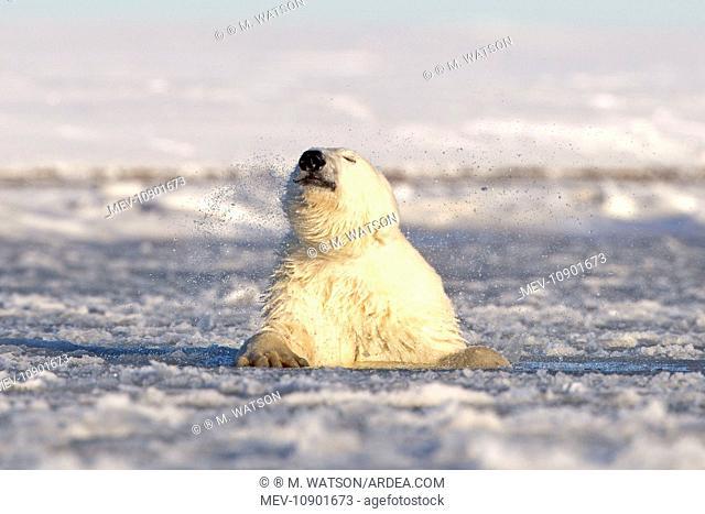 Polar Bear - sub-adult swimming in slush ice (Ursus maritimus). Kaktovik, Arctic National Wildlife Refuge, Alaska, United States