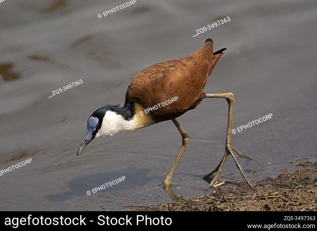 The African jacana, Actophilornis africanus at Kruger National Park, South Africa