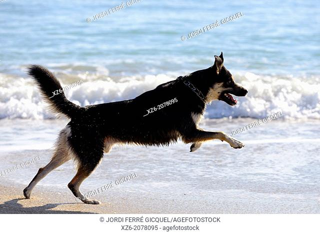 Black dog running on the water at beach
