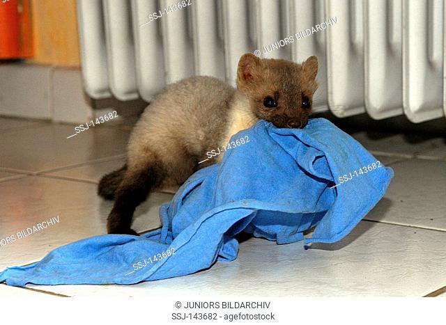 young beech marten with cloth in mouth / Martes foina