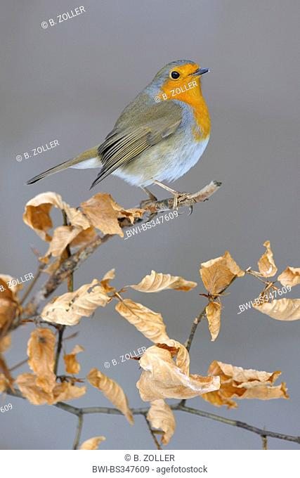 European robin (Erithacus rubecula), in winter on its lookout, beech branch with autumn foliage, Germany, Baden-Wuerttemberg